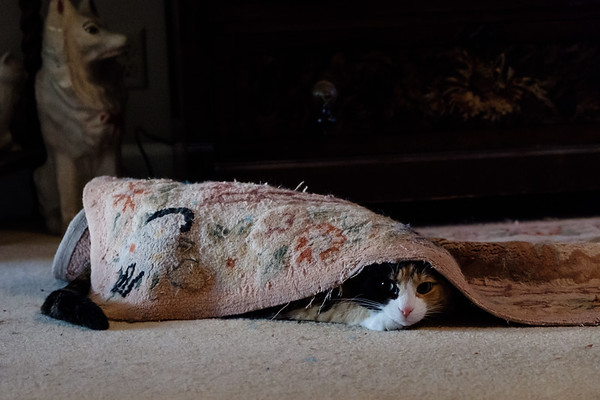 Calico cat under a rug