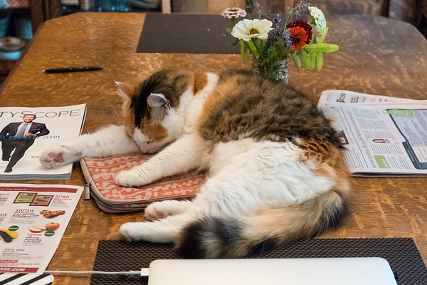 Calico cat on laptop case