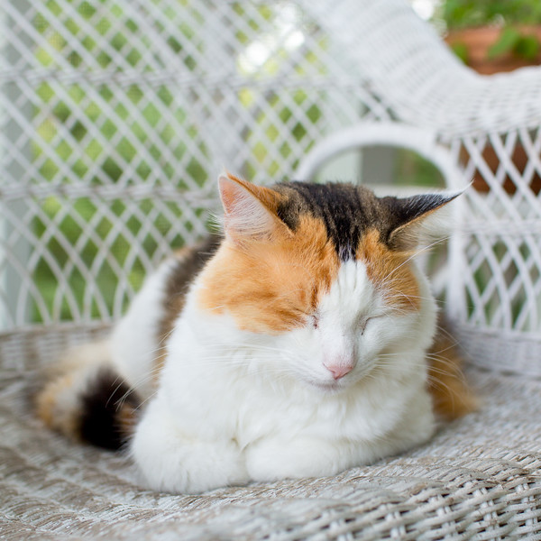 Calico cat on wicker furniture