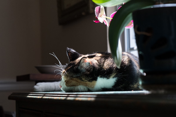 Calico cat and the orchids
