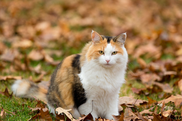Calico cat with fall leaves
