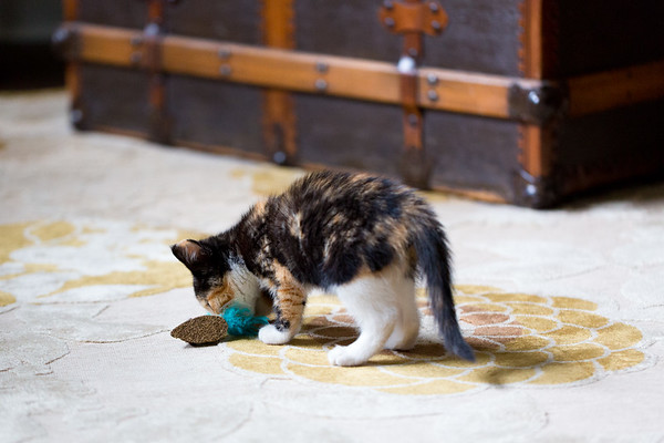Calico kitten on rug with toy