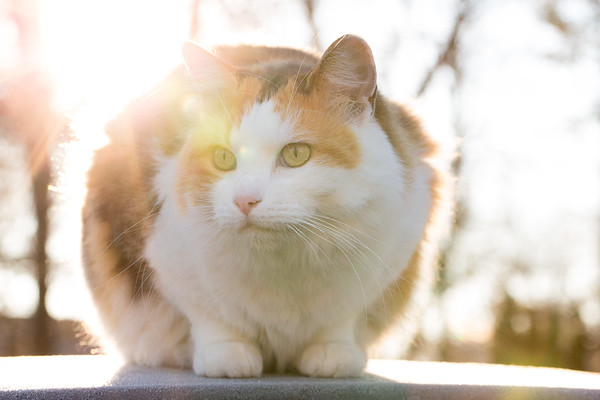Calico cat on the roof of the car backlit with su
