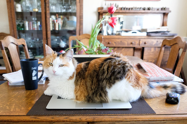 Calico Cat on macbook pro