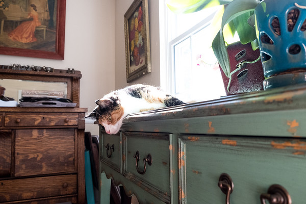 Calico cat looking over the edge of a table
