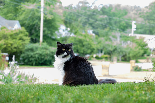 Tuxedo cat on the yard