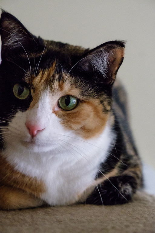 Calico cat looking at camera
