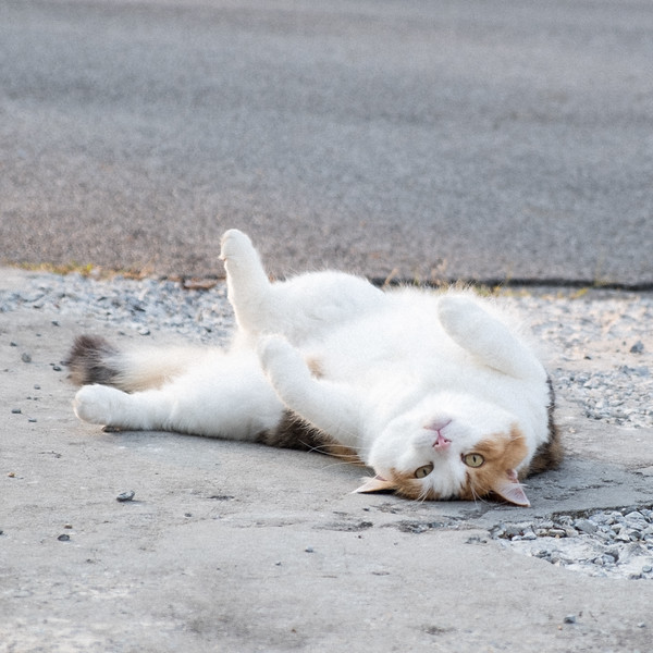 cat rolling on back on driveway