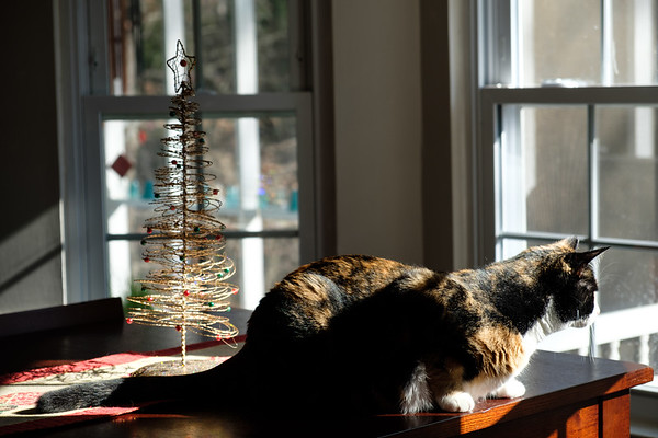Calico cat in window light with small Christmas tree