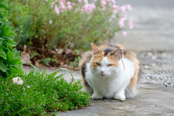 Calico cat on driveway.