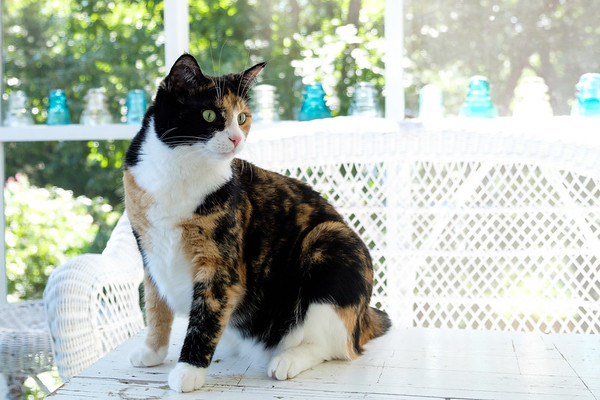 Calico cat on the porch
