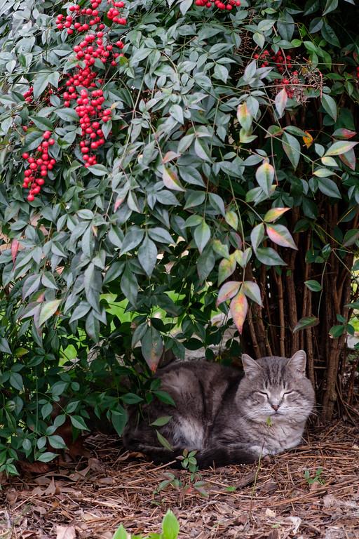 Winston the tabby cat under the nandina