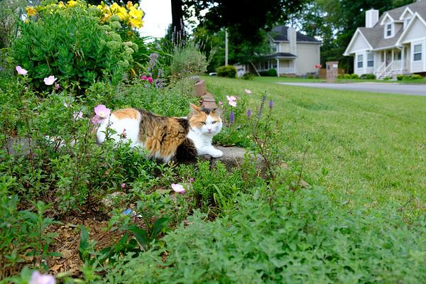 Calico cat in the garden