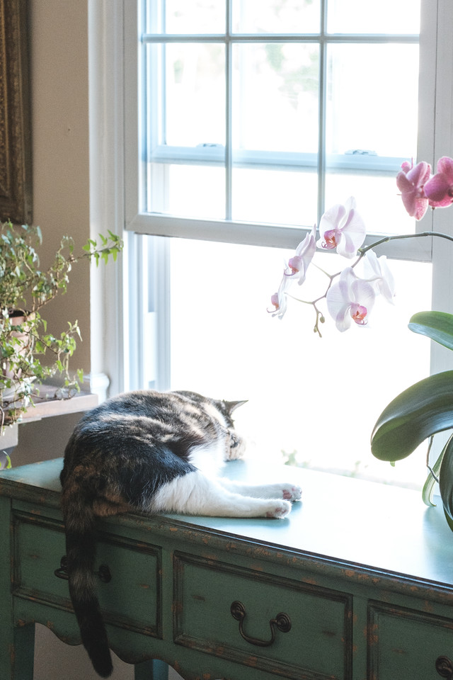 Calico cat lying on table in front of open window