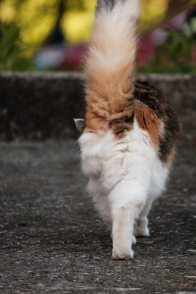 Calico cat walking away.