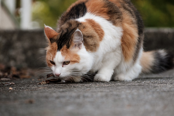 Calico cat sniffing the ground.