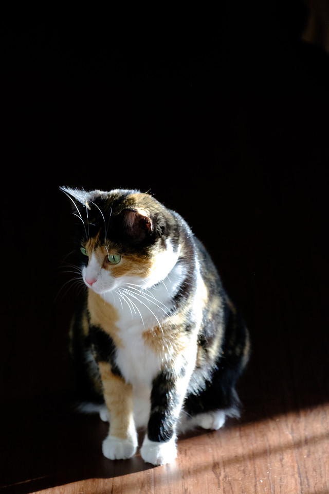 Calico cat in shadows and light