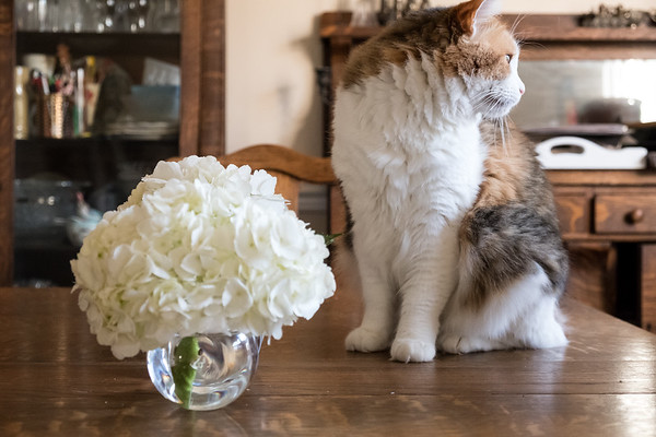 Calico cat and hydrangea flowers