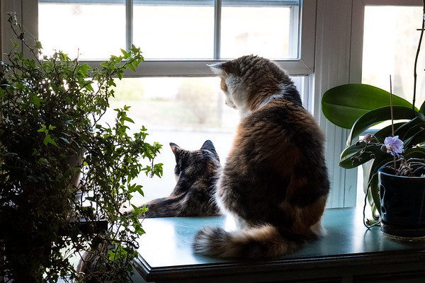 2 calico cats looking out a window