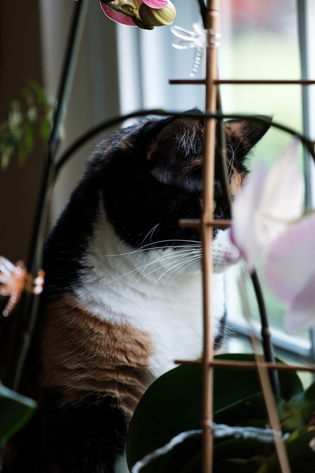 Calico cat looking out the window behind orchids.
