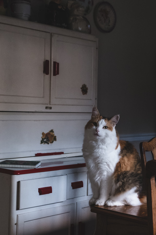 Calico cat in moody light in the dining room.
