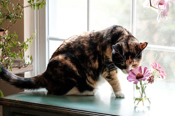 Calico cat sniffing flowers on a table