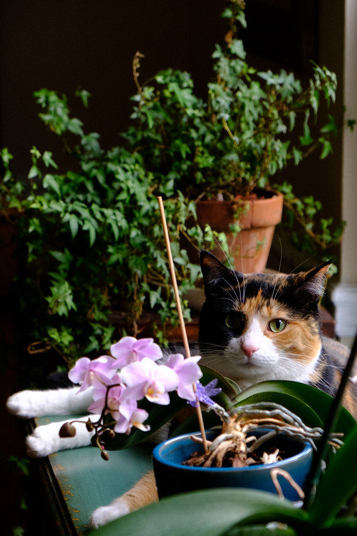 Luxie kitty - calico cat among the orchids