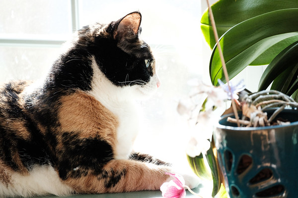 Calico cat with orchids