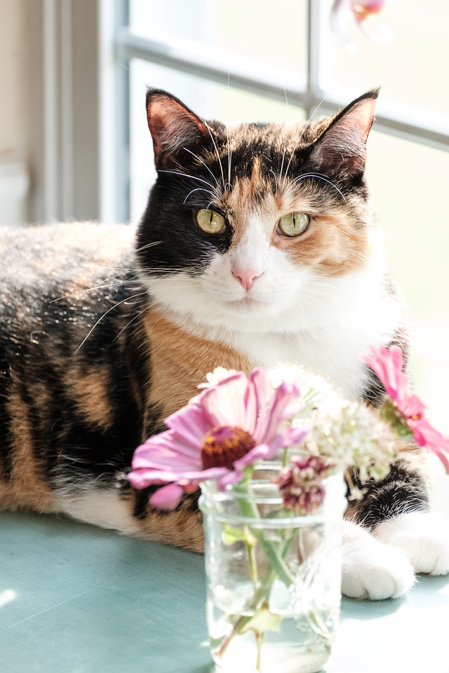 Calico cat sitting behind a jar of zinnias