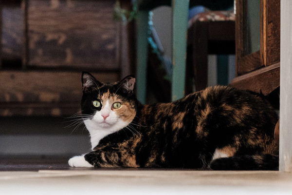 Calico cat on the floor with furniture behind it