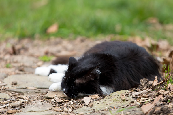Tuxedo cat sleeping on garden path