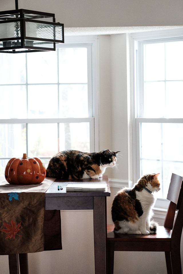 Calico cats at a window.