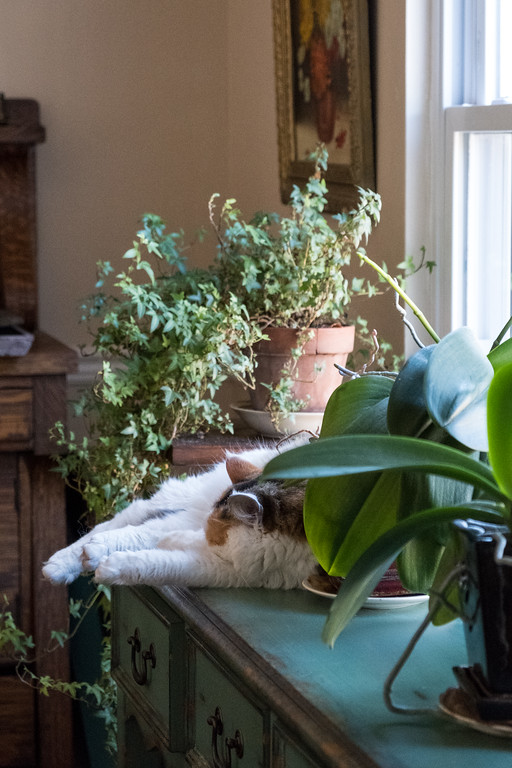 Calico cat on table by the window
