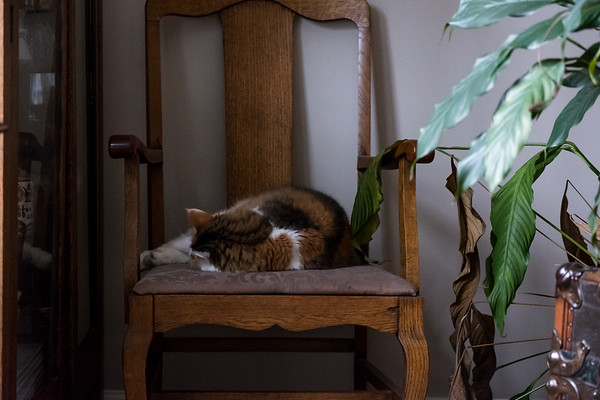 Calico cat sleeping on a chair