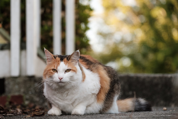 Calico cat on a side walk.