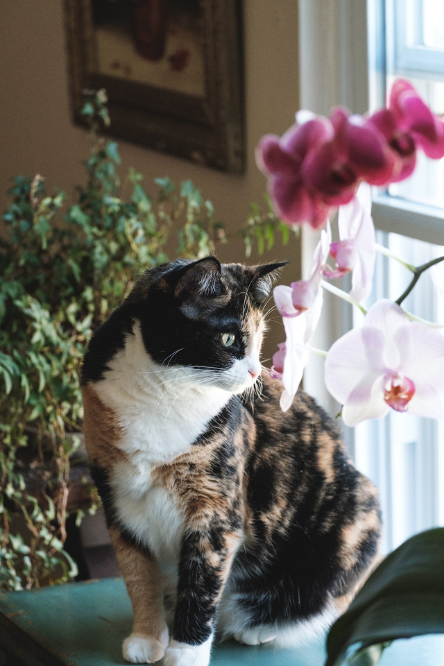 Calico cat sitting with orchids and looking out a window