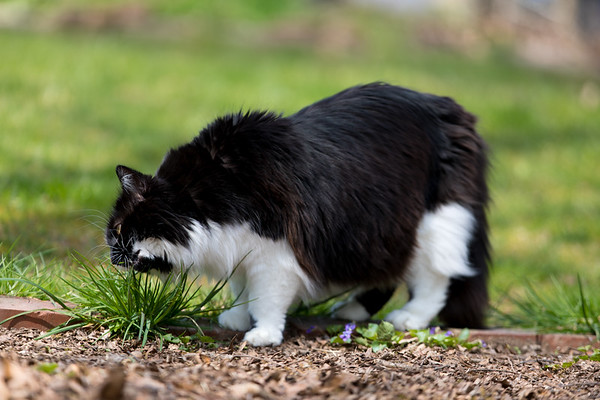 Kitty cat eating some grass