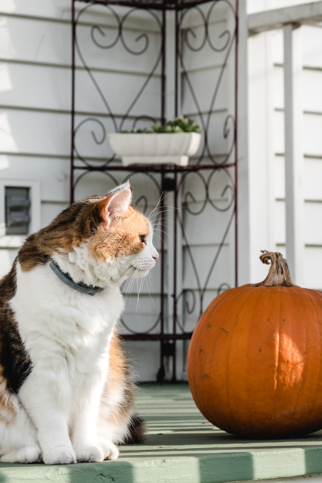 Calico cat with pumpkin