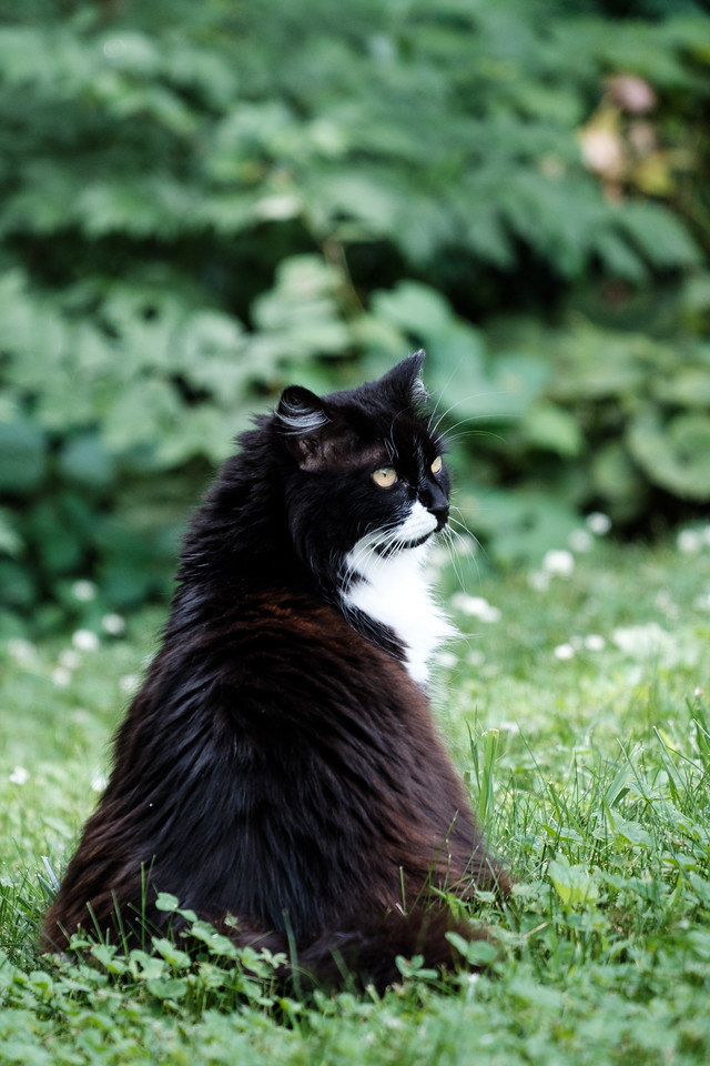 Tuxedo cat on the lawn
