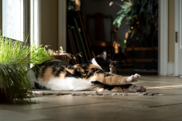 Calico cat stretching