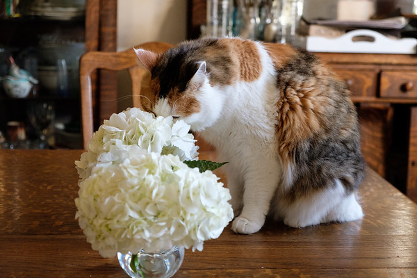Calico cat sniffing hydrangea flowers (poisonous to cats)