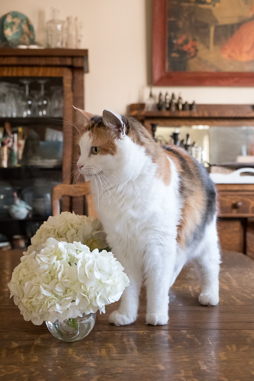 Calico cat on dining room table with white hydrangea flowers - which are poisonous to cats.