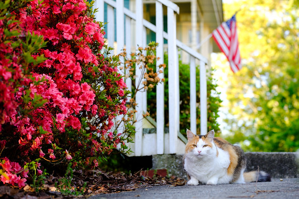 Calico cat on sidewalk by azalea bush with American Flag in the background
