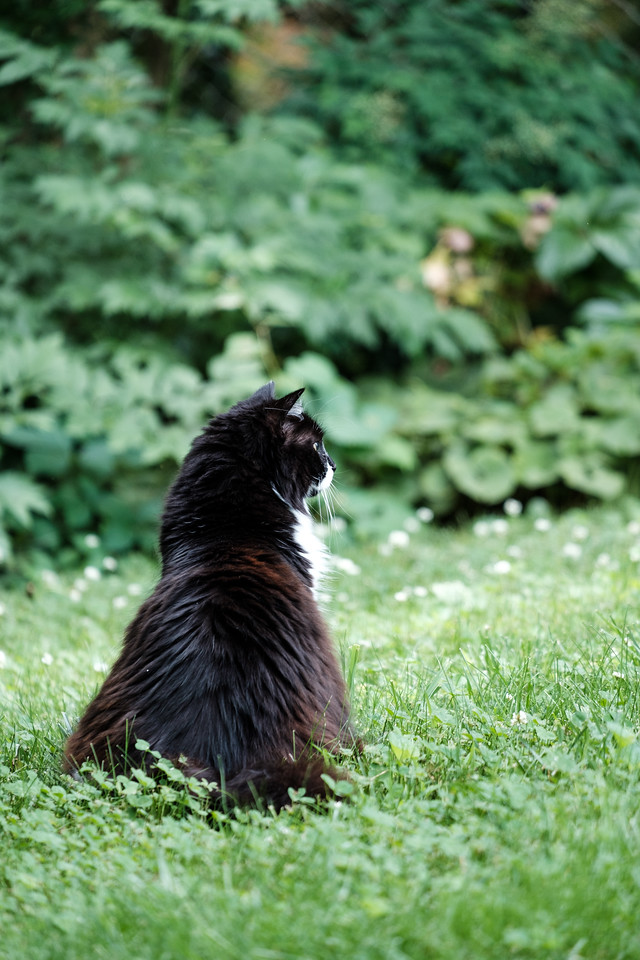 Tuxedo cat on the grass