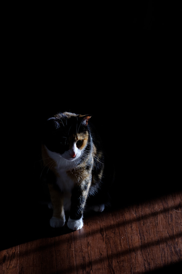 Calico cat in shadows