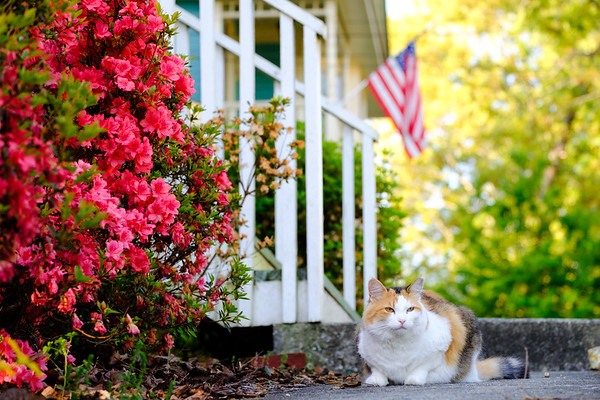 Calico cat on sidewalk by azaleas with American Flag in the background