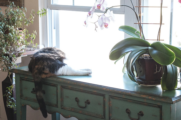 Calico cat laying on table in front of open window