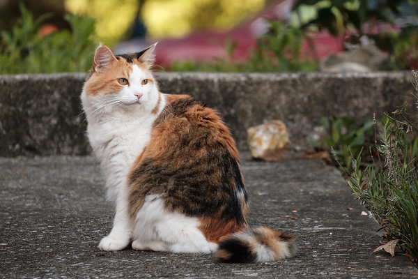 Calico cat looking away.