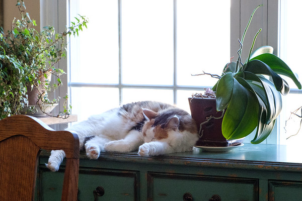 Calico cat sleeping
