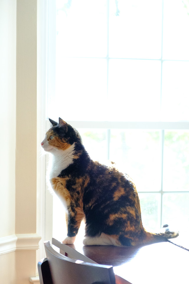 Calico cat in front of a window with sun streaming in.